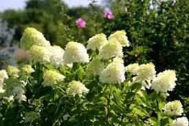 White Flowering Shrub - powell gardens u0027 blog powell gardens u0027 spectacular summer flowering