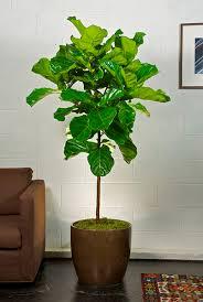 fiddle leaf fig tree indoor gardening fiddle leaf