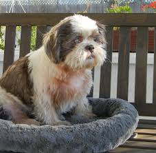 poochie the shih tzu connecting you with a friend for life