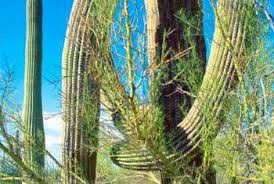 what does a palo verde tree look like home guides sf gate