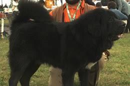belgian sheepdog traits belgian sheepdogs physical characteristics
