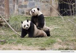 Panda Meme - hilarious sex panda meme joke quotesbae