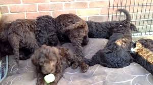 chocolate labradoodle puppies 8 weeks old youtube