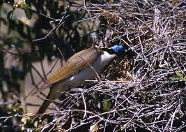 blue faced honeyeater birds in backyards
