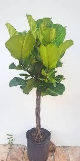 Fiddle Leaf Fig Tree Care by Braided Fiddle Leaf Fig Tree 4 5 Feet Tall Ficus Lyrata