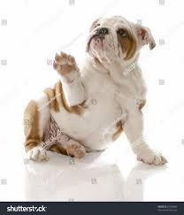 australian shepherd 7 wochen english bulldog puppy sitting holding paw stock foto 45794989