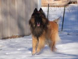 belgian sheepdog club of america national specialty tacara belgian tervuren puppies for sale