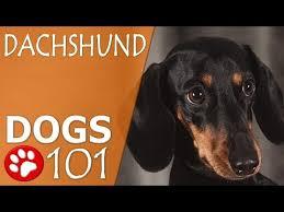 belgian sheepdog dogs 101 dogs 101 belgian sheepdog top dog facts about the belgian
