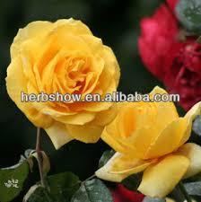 Golden Roses Golden Rose Flower Seeds Buy Golden Rose Rose Gold Gold Rose
