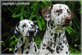 genomia dalmatian dog