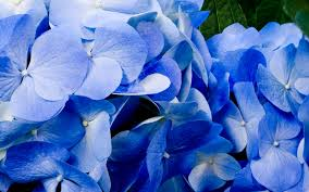 hd free blue flowers wallpapers download free 808505