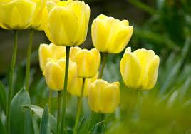 tulips flowers tulip flowers gardening tips kerala news kerala