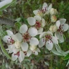buy weeping pear tree pyrus salicifolia pendula from uk