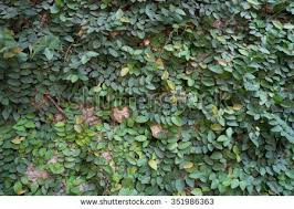 free ornamental climbing plant on the wall photos page 2 168