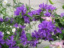 plant identification closed please help identify purple flower