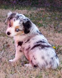 south dakota australian shepherd miniature australian shepherd