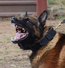 belgian shepherd how much our dogs belgian malinois breeder u0026 trainer ruidoso malinois