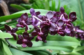 Purple Orchids Dark Purple Orchids Picture Of National Orchid Garden Singapore
