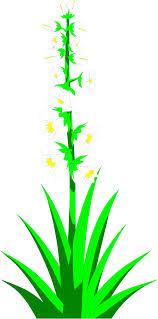 yucca flowers free stock photo illustration of white yucca