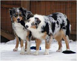 lifespan of australian shepherd australian shepherd puppies breeders price facts pictures