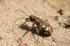 what colour is a tiger beetle u2013 tiger