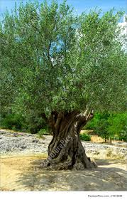 picture of old olive tree