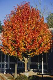 aristocrat pear is an outstanding medium sized ornamental shade
