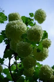 free images tree blossom white leaf flower bush food