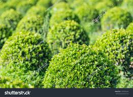 detailed sight on spherical boxwood shrubs stock photo 156763634