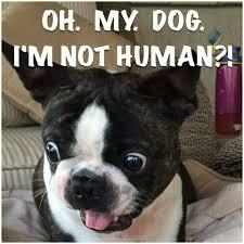 Boston Terrier Meme - my beanie boston s pinterest terrier dog and animal