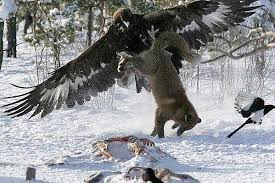 golden eagle vs siberian wolf