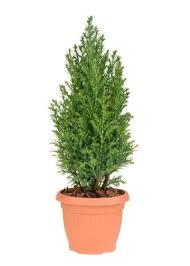 best zone 8 evergreen varieties choosing evergreen trees for zone