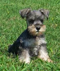 zwerg affenpinscher everything about your miniature schnauzer luv my dogs