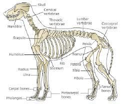 Dog Anatomy Front Leg Free Anatomy Image Clip Art Library