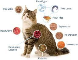 Obat Cacing Kucing Di Petshop bekper breeder cara tuntas membasmi cacing pada kucing