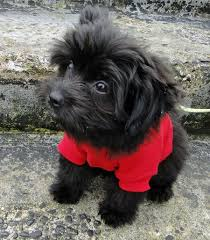 affenpinscher maltese mix marty the yorkie mix puppies daily puppy
