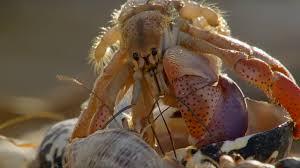 amazing crabs shell exchange life story bbc youtube