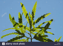 santa cruz native plants santa cruz island ironwood lyonothamnus floribundus s stock photo
