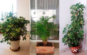 big and beautiful plants for sale in nicosia cyprus cyprus bazar