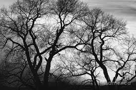 trees black and white sunset photograph by bo insogna