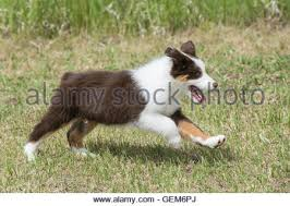 australian shepherd dog puppies black tri australian shepherd puppy with blue eyes stock photo