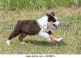 6 week australian shepherd australian shepherd puppy black tri 6 weeks australian
