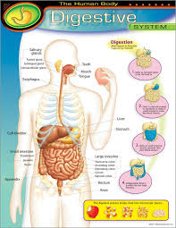 chart digestive system t 38092