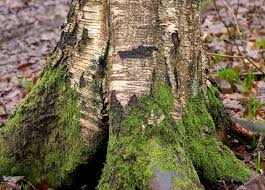 silver birch trunk root with tree moss part of a set sli flickr
