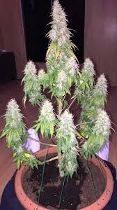 best 25 growing weed ideas on pinterest vaporizer for weed