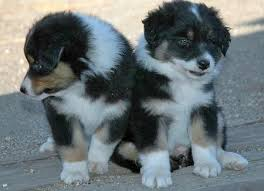 double r australian shepherds laylie and midna the australian shepherds puppies daily puppy