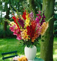 gladiolus flowers flower of the month gladioli flowers