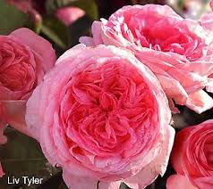 Fragrant Rose Plants - 65 best roses my search for fragrance images on pinterest