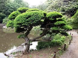 ornamental garden tree podocarpus macrophyllus kusamaki