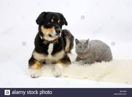 australian shepherd yorkie australian shepherd tricolor and british shorthair cat blue 14